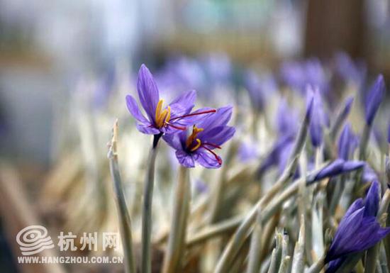 千島湖五保村的藏紅花盛開