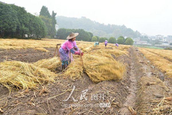 建德花农在田里铺稻草