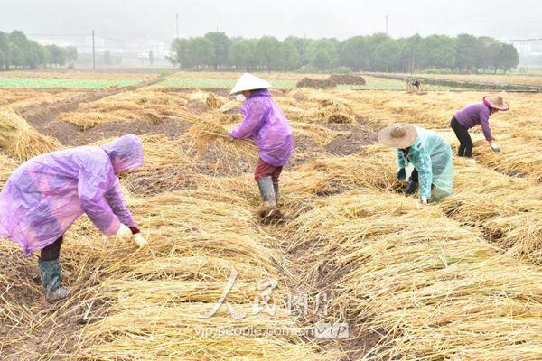稻草平铺在田里