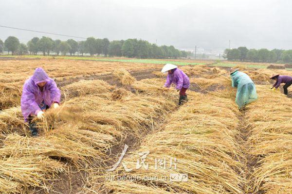 藏红花种植户忙碌的在田里铺稻草
