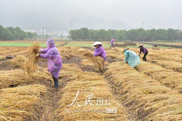 铺稻草准备种植藏红花