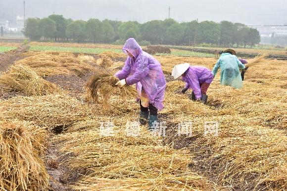 藏红花花农在田里铺稻草准备种植藏红花