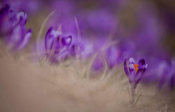 番紅花夢幻般的紫色