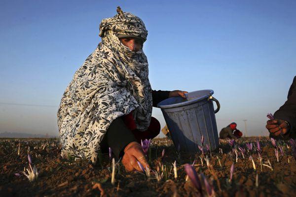 裹着头巾的花农采摘藏红花