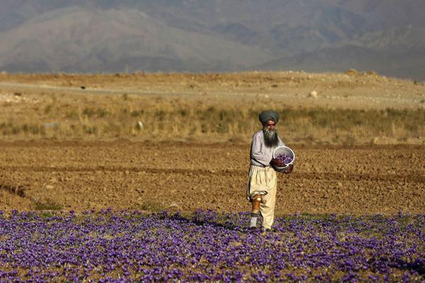 伊朗男士采摘藏红花