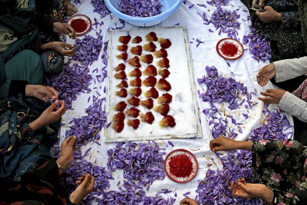 伊朗花农集体剥藏红花花丝