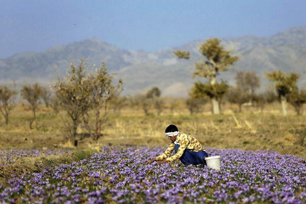 采摘伊朗藏红花