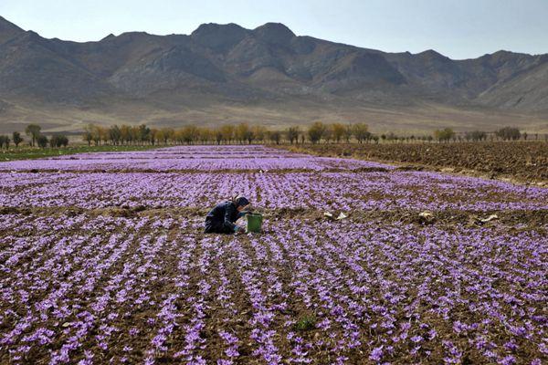 藏红花田里开满了鲜花