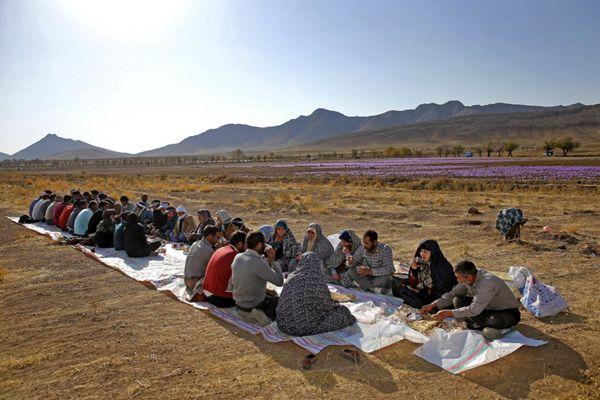 伊朗花农在藏红花田边吃早餐