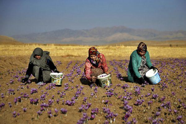 伊朗妇女采摘藏红花