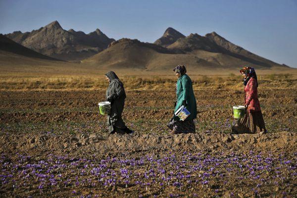 三名伊朗妇女采摘藏红花