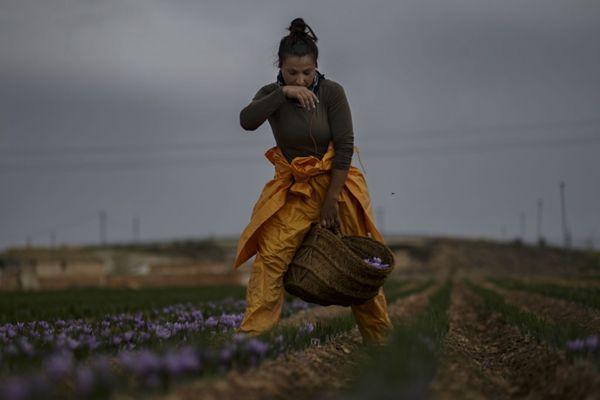 西班牙妇女采摘藏红花