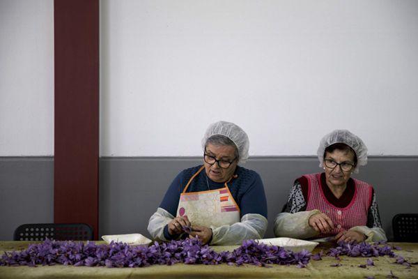 西班牙花农剥取藏红花花丝