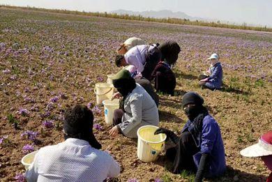 藏红花产地在哪里 藏红花主要产地有哪些