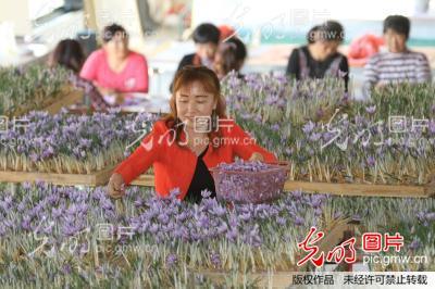 光山县藏红花盛开
