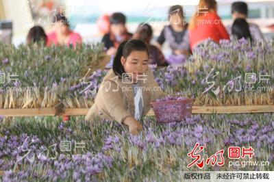 信阳藏红花室内开花