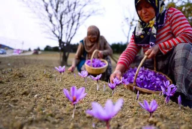 番红花城居民采摘藏红花