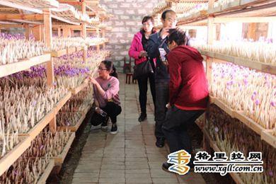 云南迪庆香格里拉藏红花带来致富路