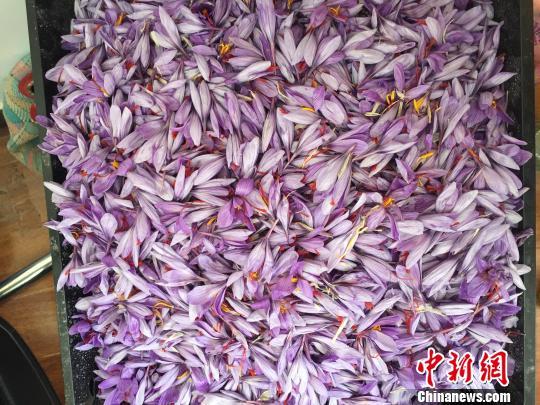 江孜農牧民采摘的藏紅花花朵