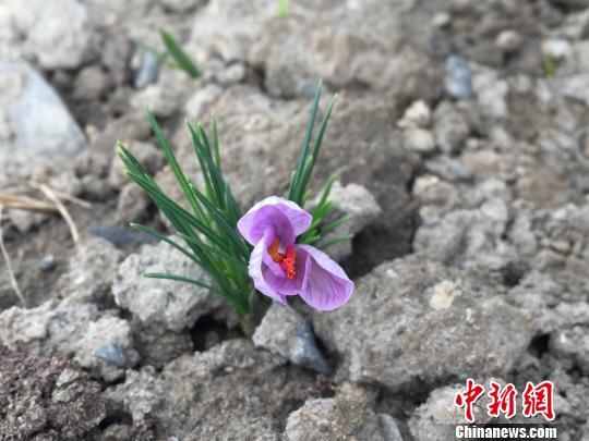 已經入土種植的正在盛開的藏紅花