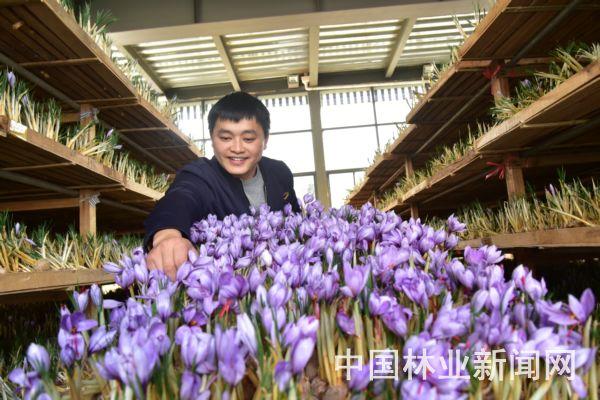 王强在采摘西红花花丝