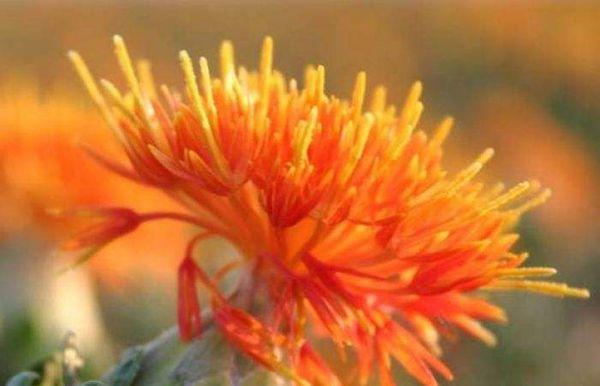 草红花植物