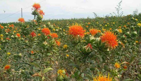 草紅花植物