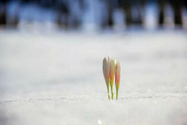 新疆那拉提旅游风景区白色番红花盛开