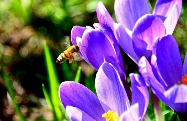 紫色的番红花引来蜜蜂