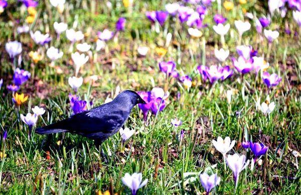 一只乌鸦停留在番红花丛中