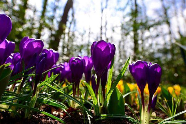 荷兰海牙盛开的紫色番红花