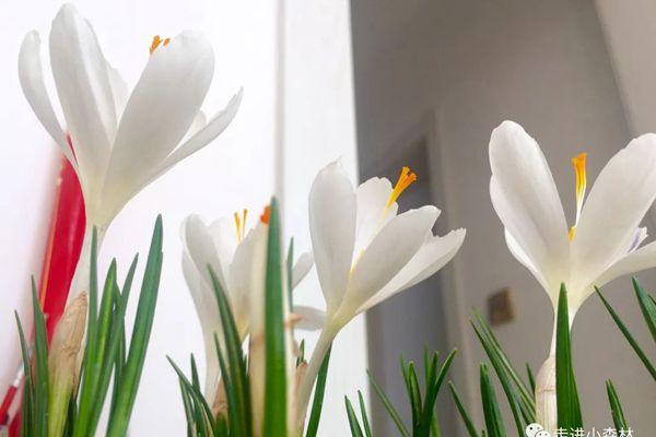 盛開的白色番紅花