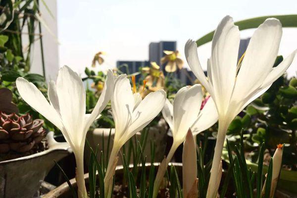 陽臺上的白色番紅花