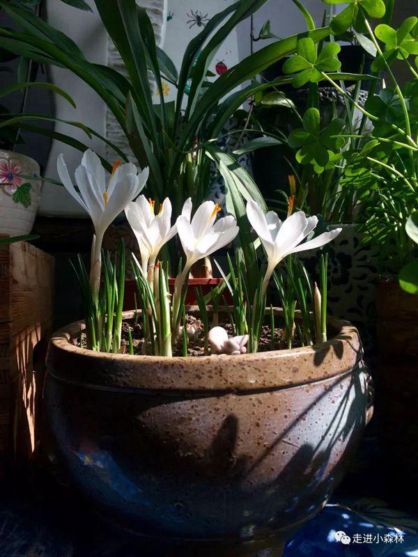 白色番紅花