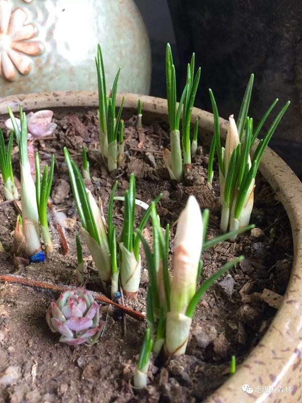 白色番紅花初現花蕾