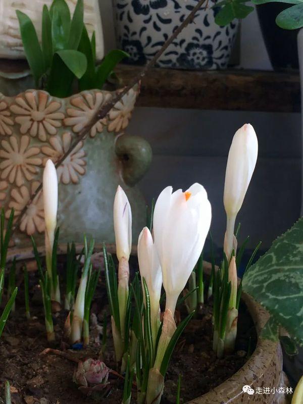 白色番紅花含苞待放
