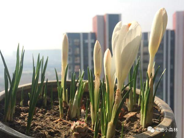 陸續盛開的白色番紅花