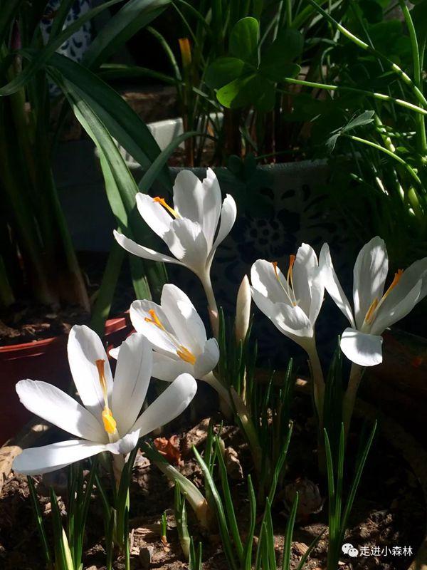 美麗的白色番紅花