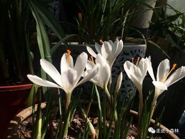 好看的白色番紅花