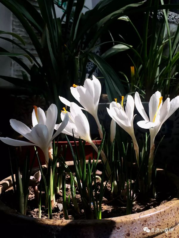白色番紅花放在家里非常漂亮