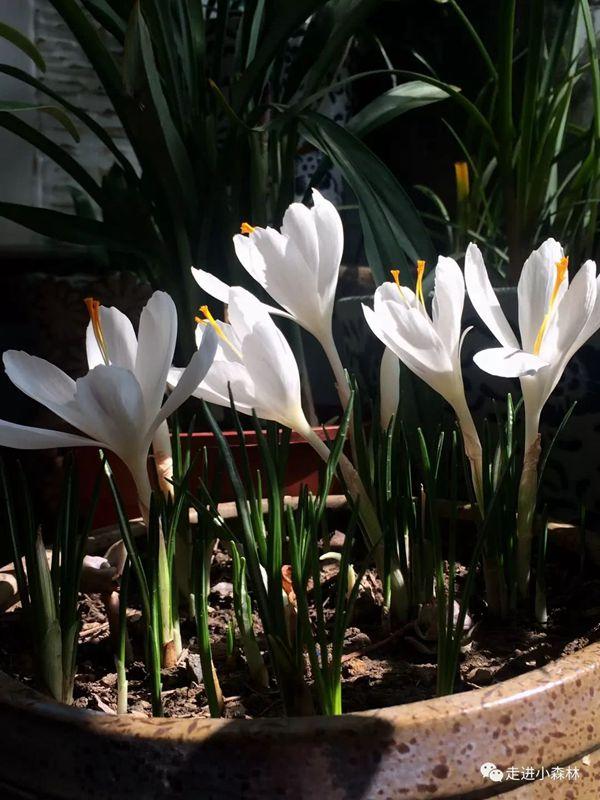 靜靜盛開的白色番紅花