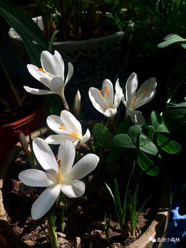 常州花友養植的白色番紅花
