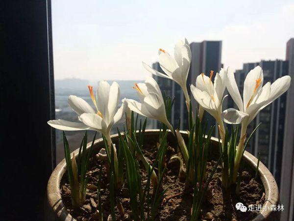 窗前的白色番紅花