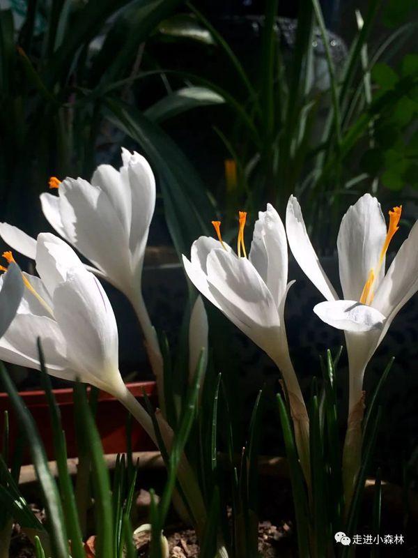 白色番紅花有著三根黃色的花蕊
