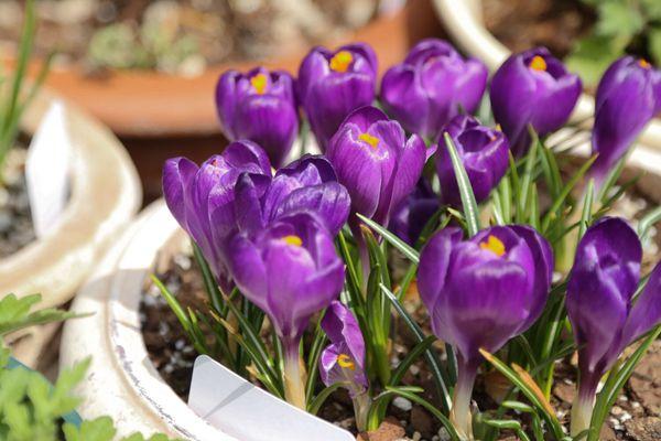 紫色番紅花