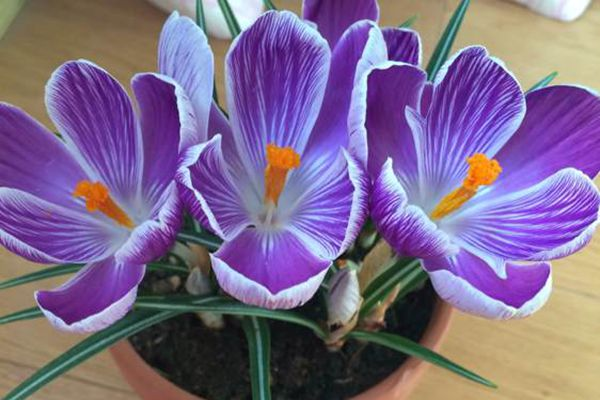紫色条纹番红花