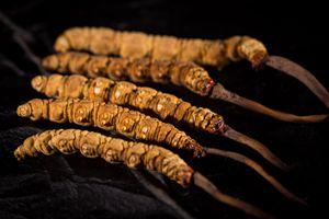 冬蟲夏草的功效和作用是什么