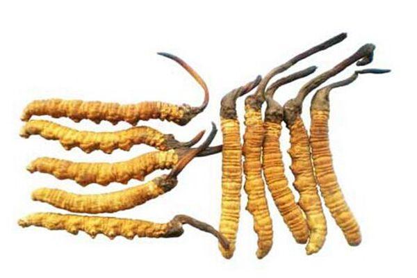 冬蟲夏草對于免疫系統的功效