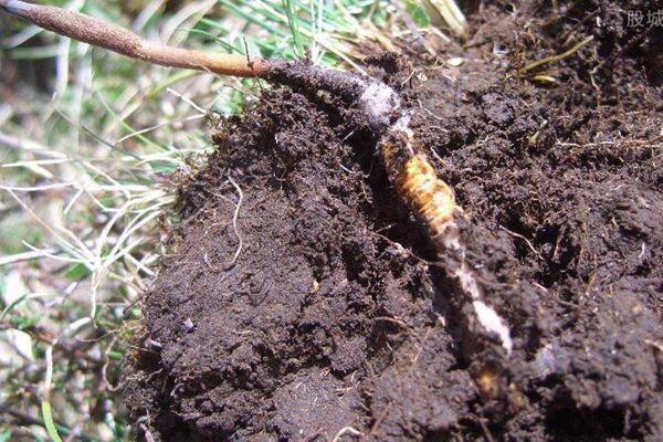 土里的冬蟲夏草