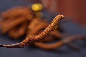 冬蟲夏草價格一斤多少錢